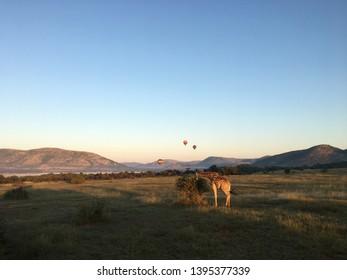 giraffe and hot air baloon morning