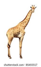 Giraffe isolated