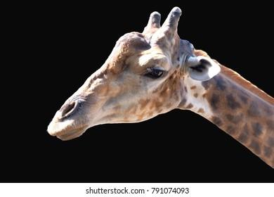 giraffe giraffe isolated black background