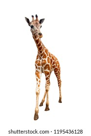 Giraffe isolated on white background, The highest animal in the world