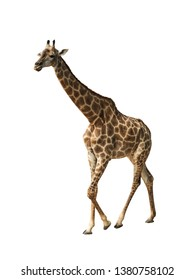 Giraffe isolated on white background, seen in namibia, africa, This has clipping path.