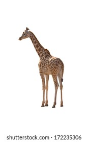 A Giraffe Isolated on a White Background