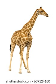 Giraffe isolated on white background, seen in namibia, africa