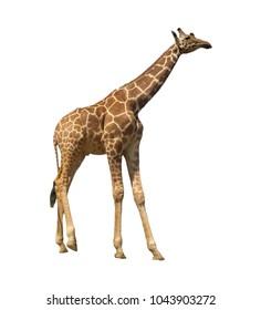 Giraffe isolated. Reticulated Giraffe on white background
