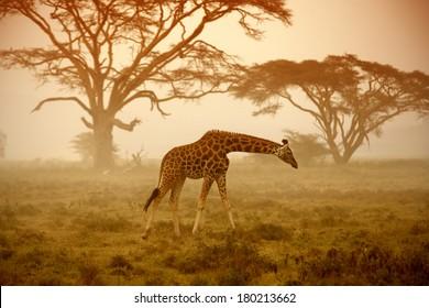 A giraffe, Kenya