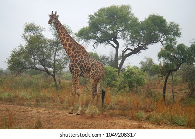 Giraffe at Kruger National Park in South Africa