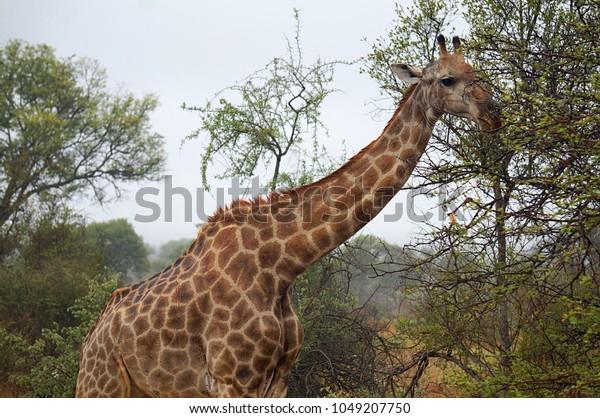 Giraffe at Kruger National Park in South Africa