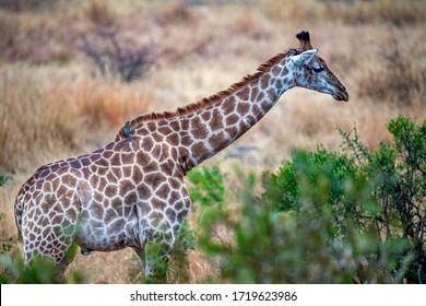 giraffe in kruger park south africa eating