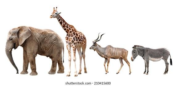 Giraffe, Kudu, Zebra and Elephant isolated on white