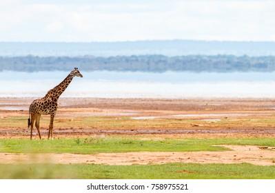 Giraffe in Lake Manyara national park, Tanzania