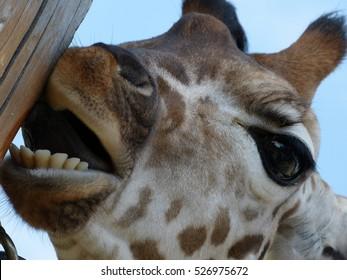 Giraffe licking column