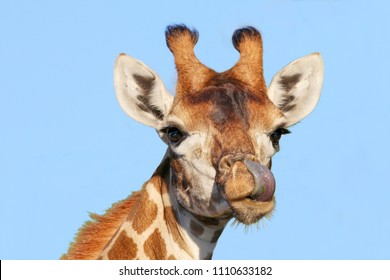 A giraffe licking it's nose with it,s long tongue