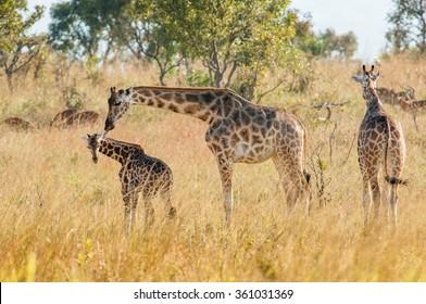The giraffe licks a cub . Uganda. Queen Elizabeth National Park.The giraffes on savanna. Giraffa camelopardalis.