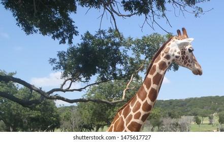 Giraffe long neck profile sunny day