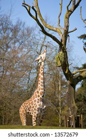 Giraffe with long tongue eating from tree
