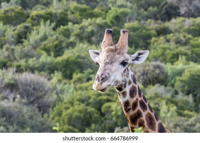Giraffe looking left with green background in South Africa