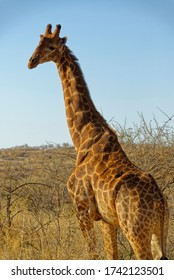 A giraffe looking to its left at the Photographer on a Game Reserve in South Africa in the early evening sun of the Dry Season.