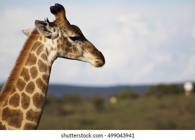 Giraffe looking out