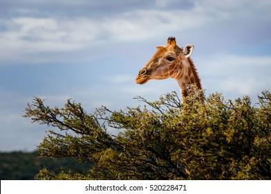 Giraffe looking over trees into the savanna