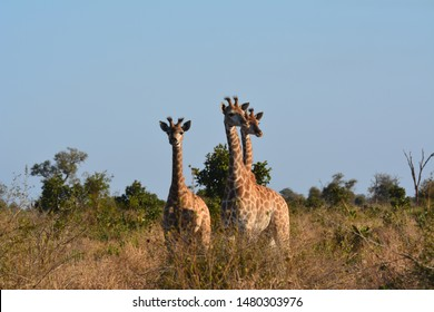 Giraffe looking at the scenery