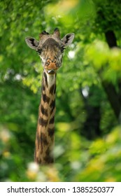Giraffe looking through green grass