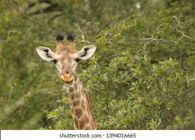 A giraffe looking at you while chewing