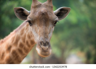 Giraffe looks directly into the camera close-up portrait.