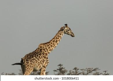 giraffe in the Maasai Mara