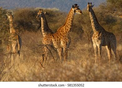 Giraffe, Madikwe Game Reserve