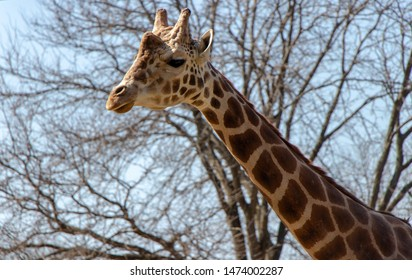 Giraffe in Madison Wisconsin Zoo