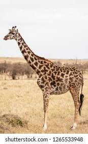 giraffe, Masai Mara, Africa