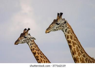 Giraffe Masai Mara Kenya Africa