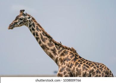 A Giraffe in the Masai Mara National Park