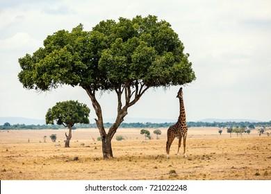 Giraffe in Masai Mara safari park in Kenya Africa