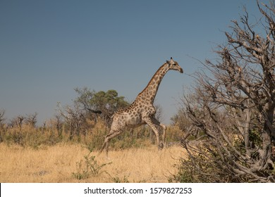 Giraffe in the moremi game reserve, Botswana, Africa