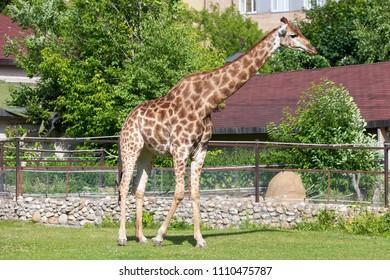 Giraffe in the Moscow Zoo