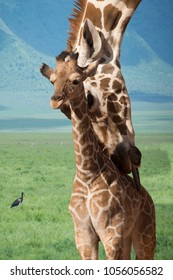 Giraffe mother and baby bath time in Tanzania, Africa