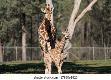Giraffe mother and her baby are walking together.