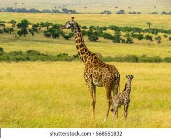 Baby Giraffe Images Stock Photos Vectors Shutterstock