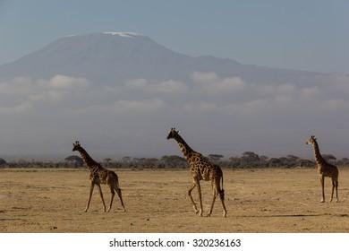 Giraffe at Mount. Kilimanjaro