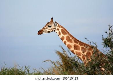 Giraffe, Murchison Falls National Park Safari Reserve in Uganda - The Pearl of Africa