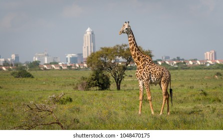 Giraffe in Nairobi city the capital of Kenya. Nairobi national park. Architecture of Nairobi in the background of beautiful giraffe.
