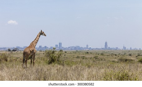 Giraffe in Nairobi National Park with Nairobi skyline in background