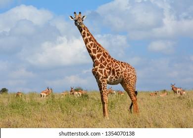 Giraffe in the national park