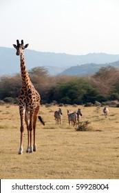 Giraffe in a national park