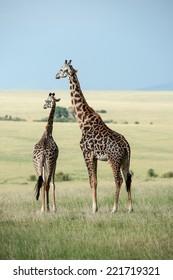 giraffe in the national park masai mara
