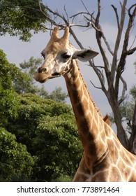 Giraffe in natural wildlife park