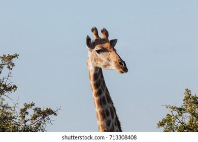 Giraffe in nature.