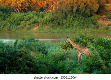 Giraffe near the river water. Green vegetation with big animals. Wildlife scene from nature. Evening light in the forest, Africa. Wet season on Africa.