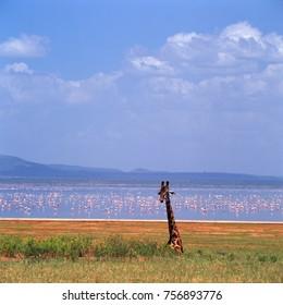 giraffe in ngoro ngoro crater